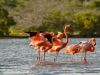 Flamingos in der Lagune in Williwood, Karibik - Curacao